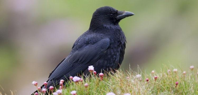 к чему снятся вороны черные много