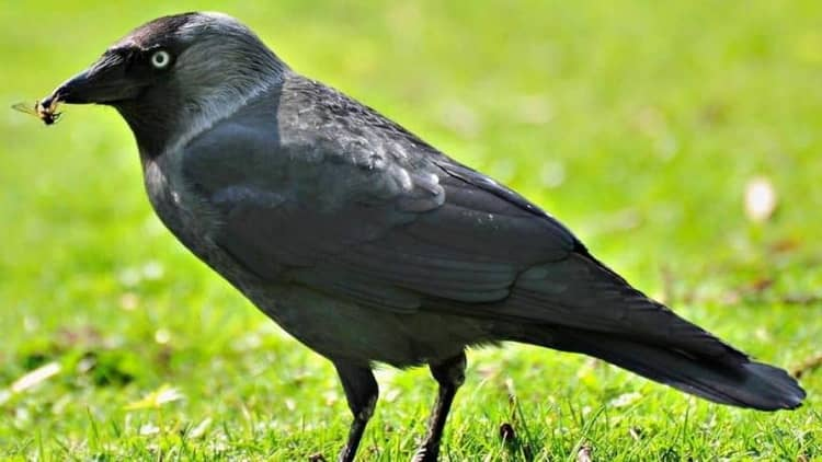 к чему снится ворона черная