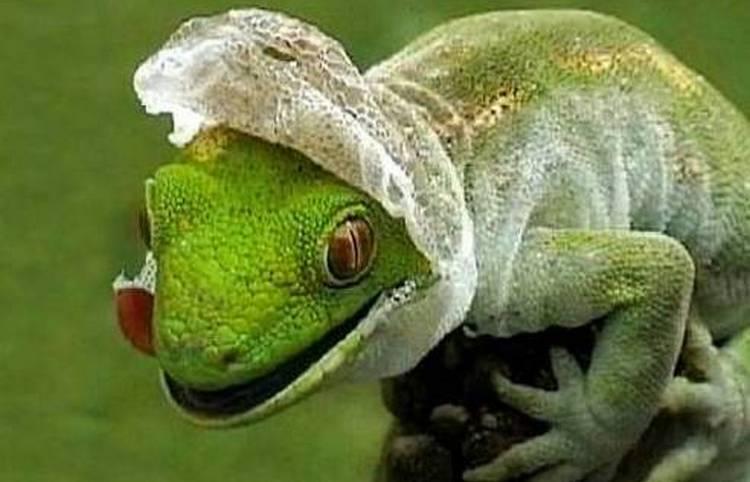 Иное значение имеет сон, в котором рептилия сбрасывает кожу.