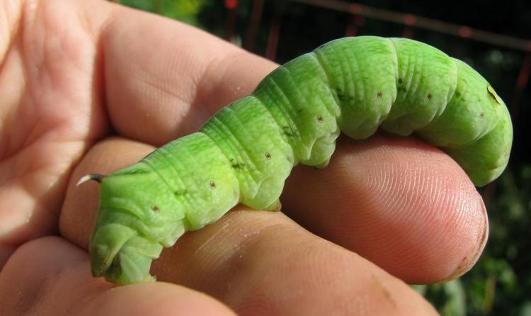 Судя по соннику, зеленая гусеница снится к успеху.