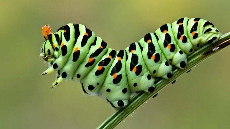 Узнайте, к чему снится гусеница зеленая.