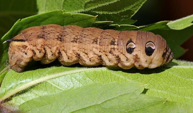 Сонник поможет понять, к чему снится большоая гусеница.
