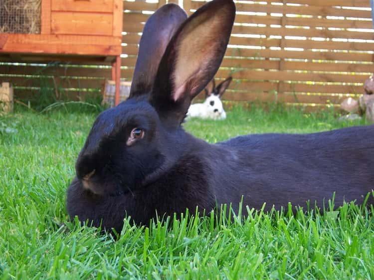 сонник черный кролики к чему снятся