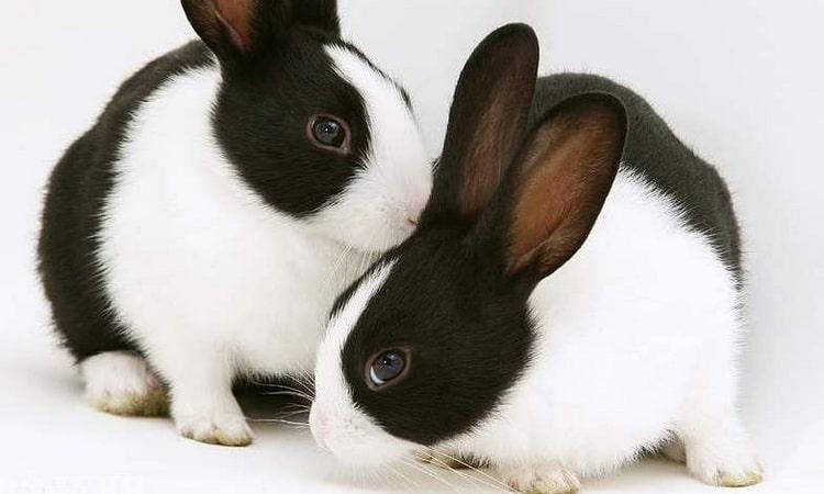 к чему снится черный или белый кролик