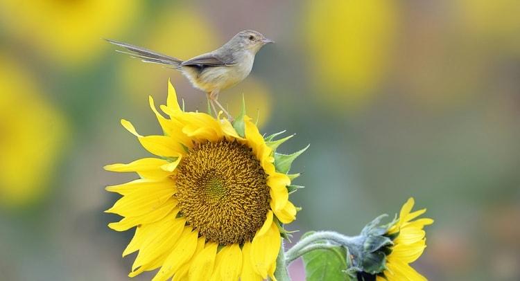 Видеть во сне подсолнух, из которого клюет семена птица, не к добру.