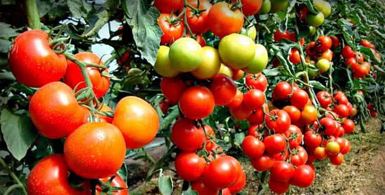 Сонник помидоры приснились к чему снятся помидоры во сне