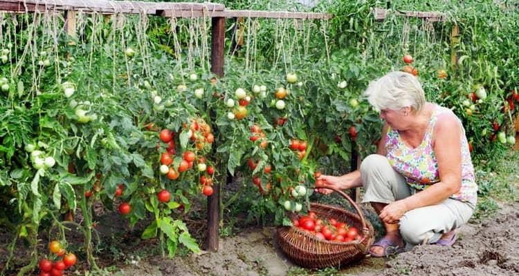 сонник помидоры красные видеть и соберать