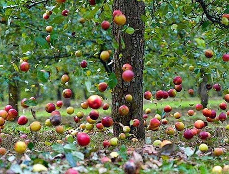 к чему снится что ешь яблоки