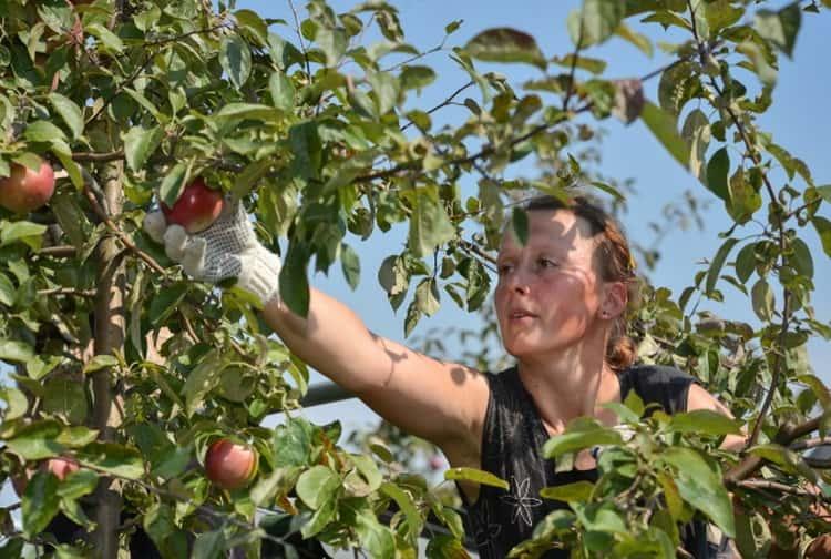 к чему снятся собранные яблоки