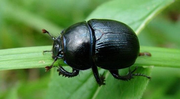 К чему снится большой черный жук