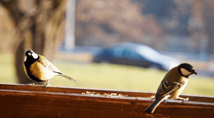 Узнайте, что означает примета, если птица залетела в дом, и это синица.