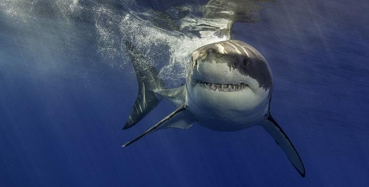 к чему снятся акулы в море