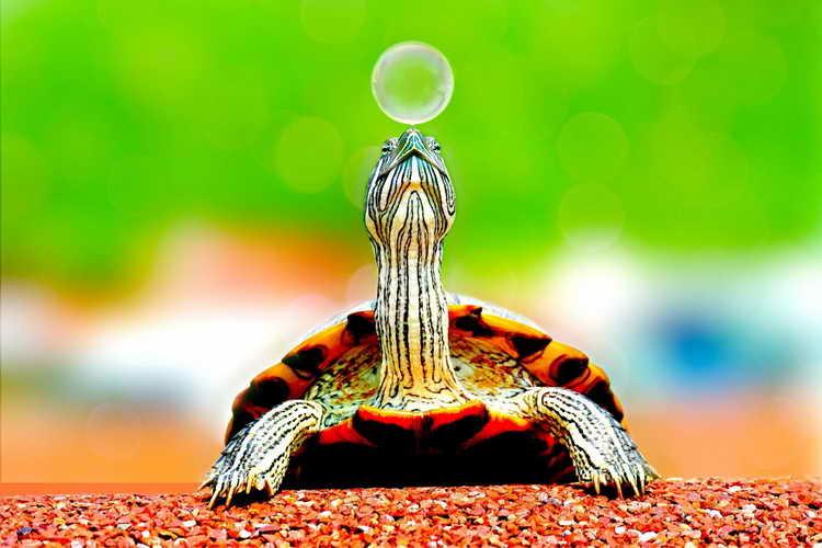 сонник черепаха большая