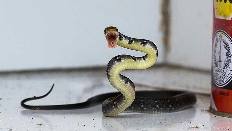к чему снится змея гадюка