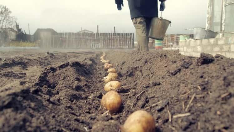 К чему снится картошка: сонник