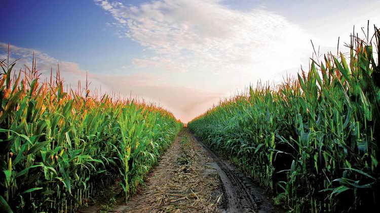 к чему снится вареная кукуруза