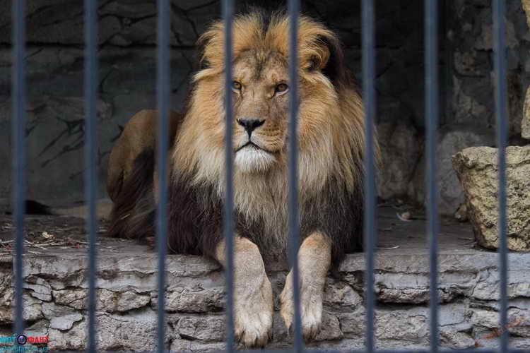 к чему снится лев во сне