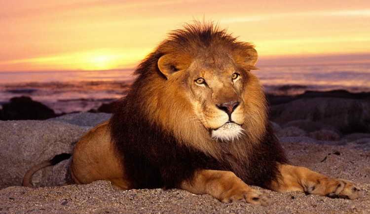 к чему снятся тигры и львы
