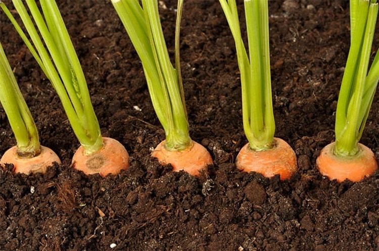 к чему снится морковь свежая женщине