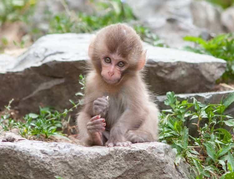 к чему снится обезьяна маленькая