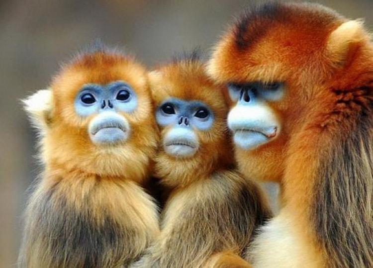 К чему снится обезьяна: сонник