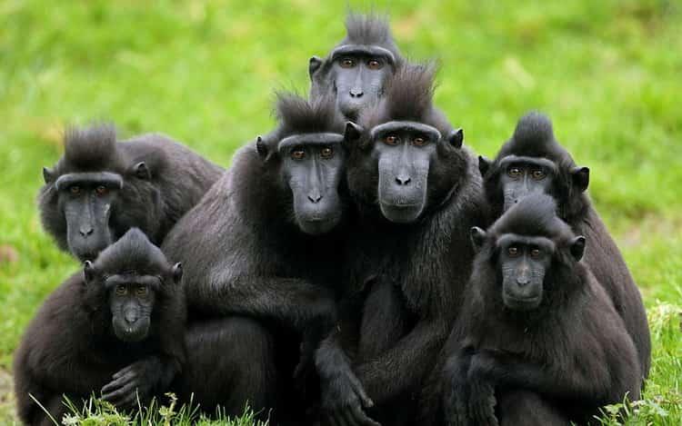 к чему снятся обезьяны во сне