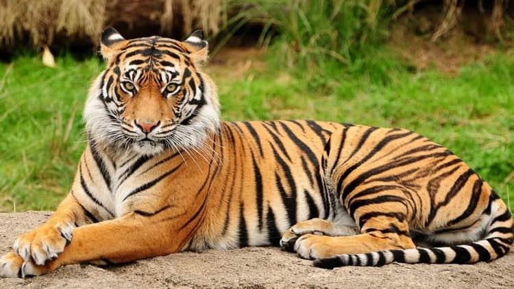 сонник тигр во сне