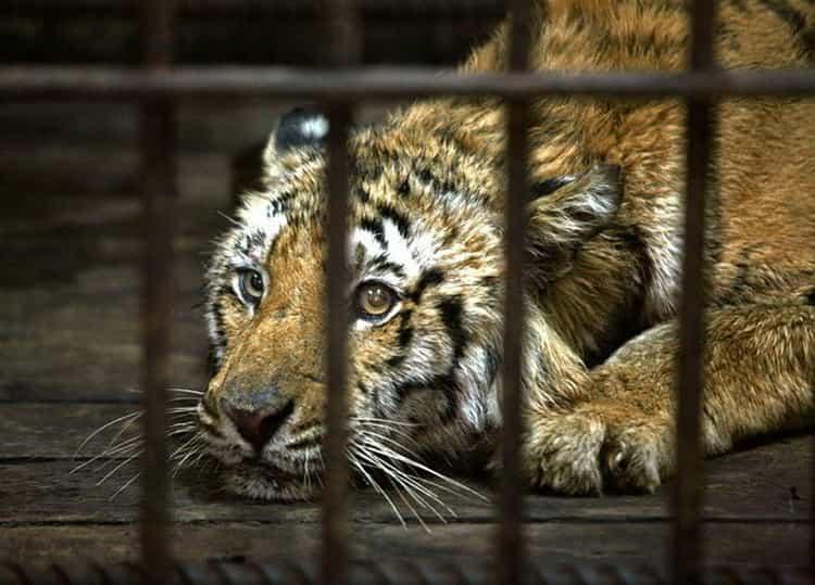 к чему снятся тигры женщине сонник