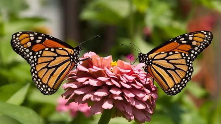 сонник бабочка большая красивая