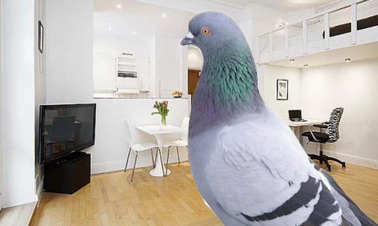 к чему снится голубь залетевший в квартиру