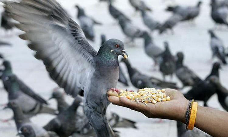 сонник кормить голубей