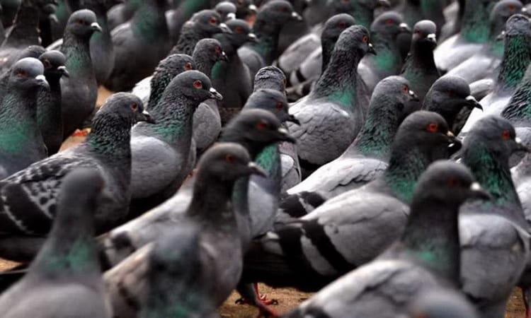к чему снятся голуби много