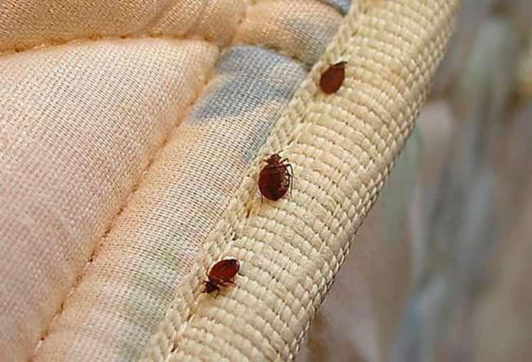 к чему снятся тараканы и клопы