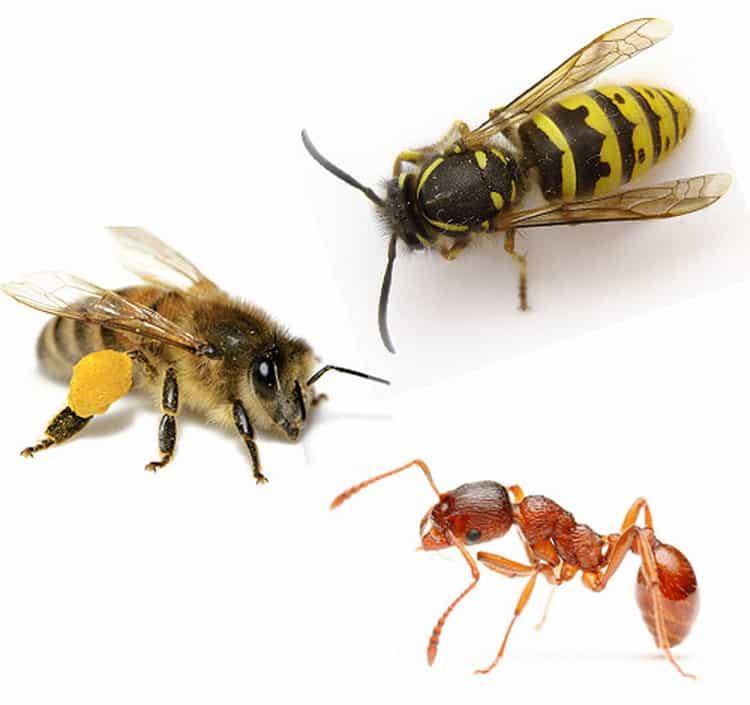 к чему снятся пчелы и осы