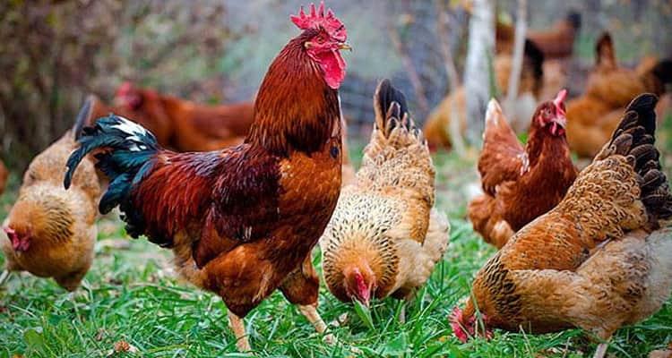 к чему снятся петухи и курицы