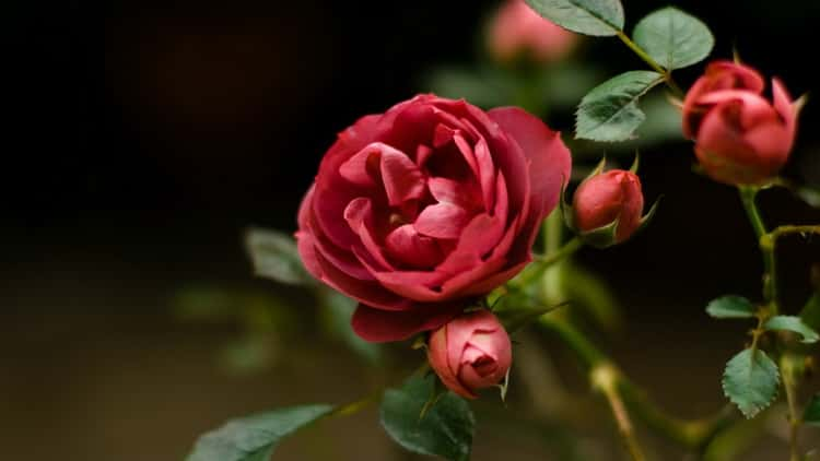 К чему снятся розы: трактуем значение сна