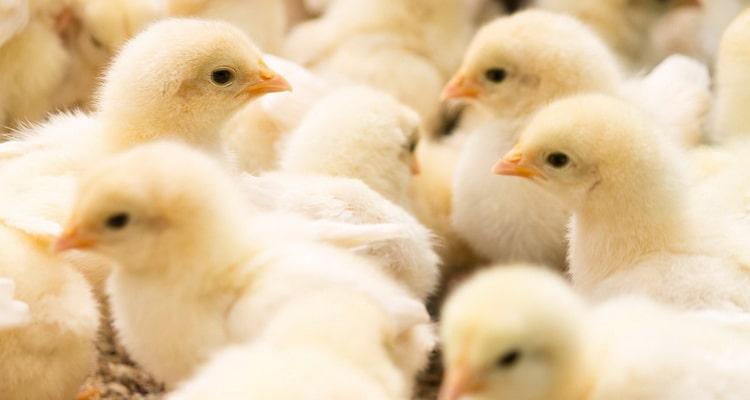 к чему снятся цыплята во сне женщине