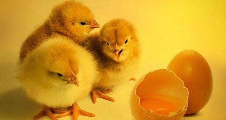 к чему снятся мертвые цыплята