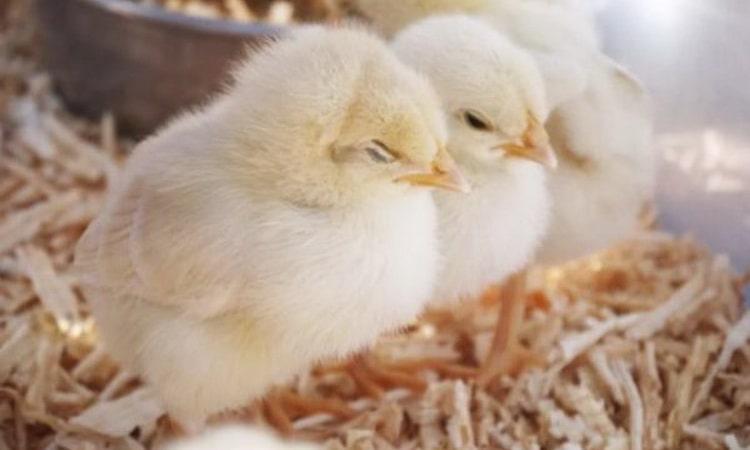 К чему мужчине приснились цыплята