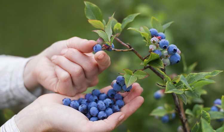к чему снятся ягоды малины