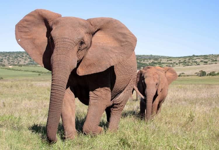 сонник слоны для женщины