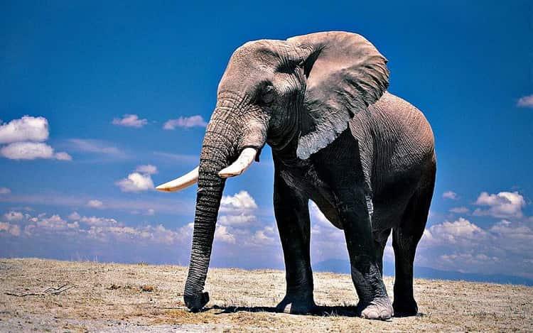 к чему снятся слоны женщине