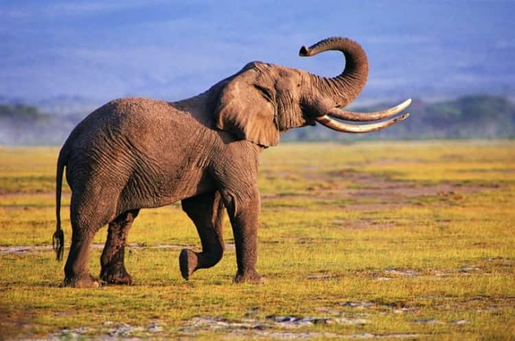 к чему снится слон