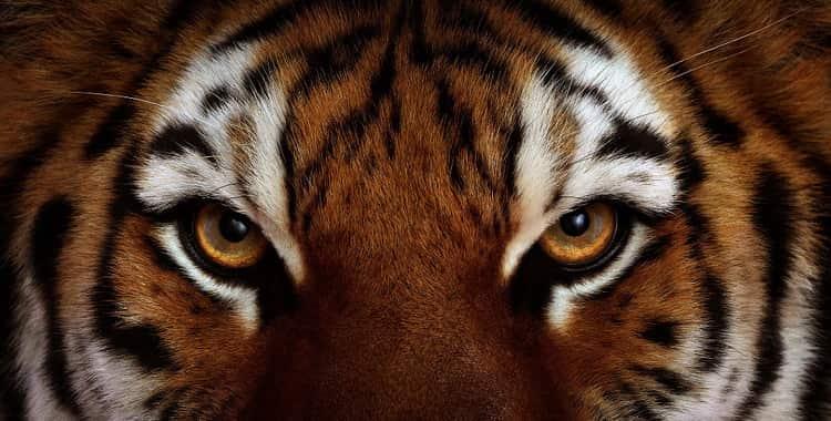 Сонник тигр во сне мужчине