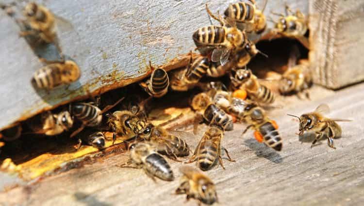 к чему снится укус пчелы