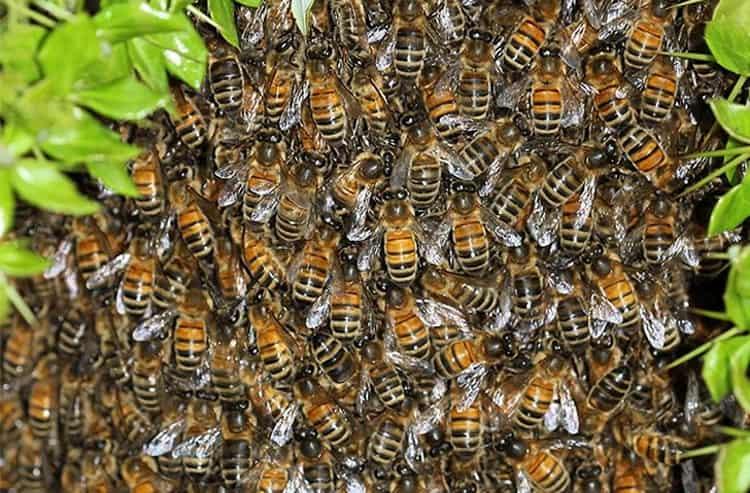 К чему снятся пчелы: сонник