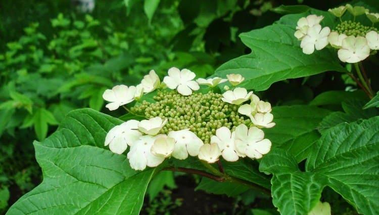 Пользу приносят не только ягоды калины, но также цветки и кора.