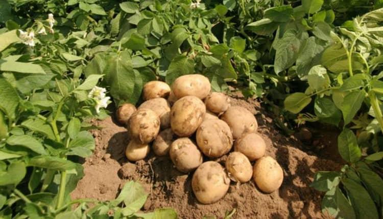 Поговорим о пользе и вреде картофеля для организма человека.