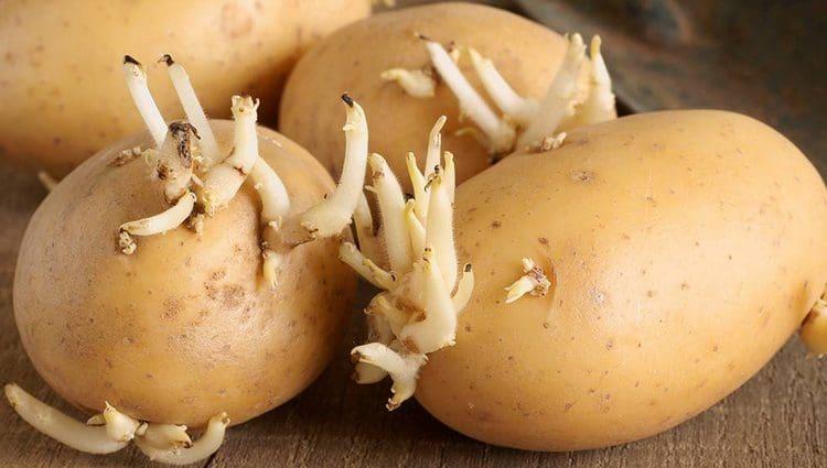 В народной медицине используются даже картофельные ростки.