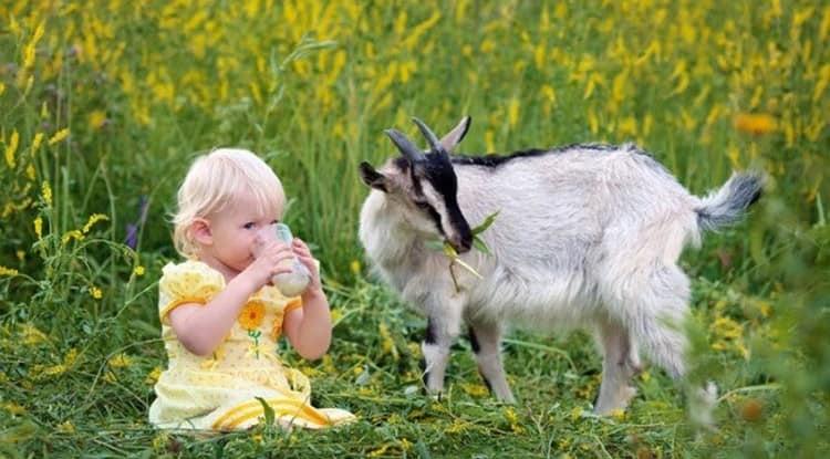 Польза козьего молока для организма человека намного превышает пользу коровьего.